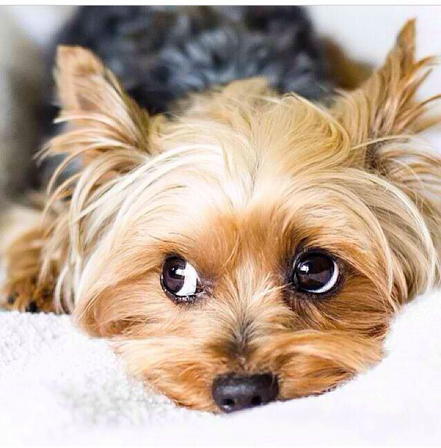 Sweet yorkie. Can't resist that face