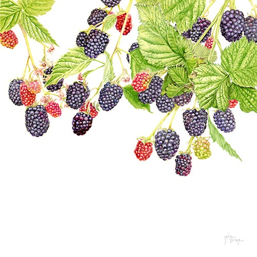Blackberry 'Loch Ness' by Janie Pirie (coloured pencil)  Interesting composition.