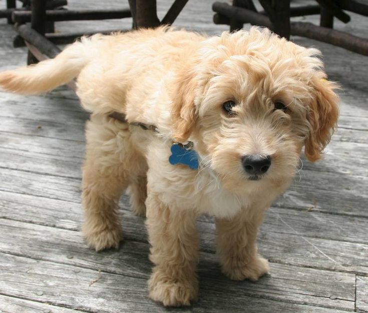 Cute Dogs: Golden Retriever Poodle Mix