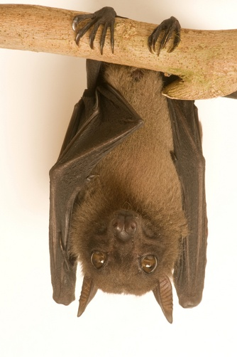 The Angolan fruit bat or Angolan rousette (Lissonycteris angolensis) is a species of megabat in the Pteropodidae family. It is found in many countries from central Africa southwards. Its natural habitats are subtropical or tropical moist lowland forests, moist savanna, and rocky areas.