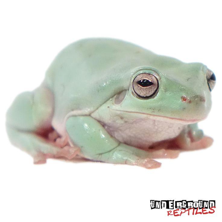 C.B. Australian Dumpy Tree Frog For Sale
