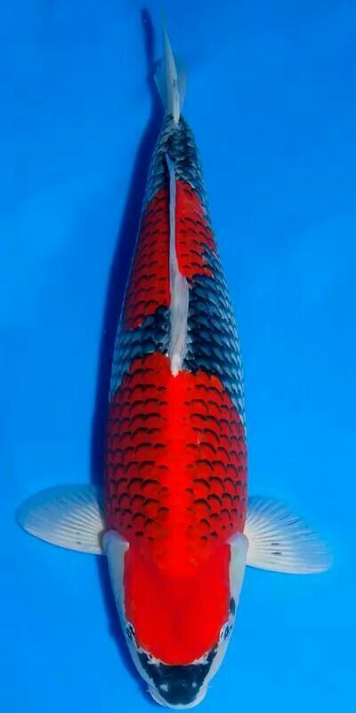 1000 images about koi fish on pinterest japanese koi for Goshiki koi fish for sale