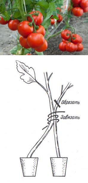 50-60 помидоров с куста.. | сад | Постила