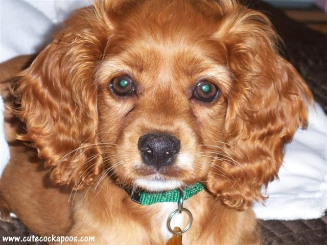 Red Cockapoo | Updated photos of Cockapoos from our ...