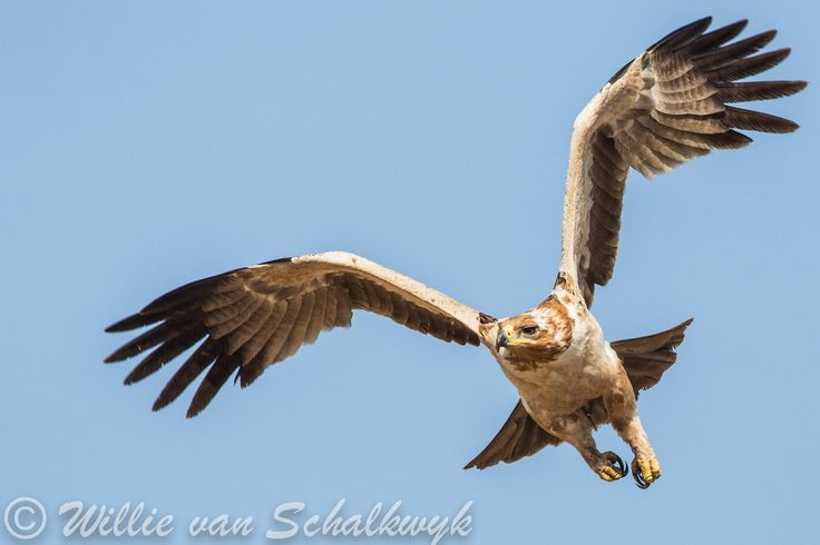 Tawny Eagle in flight - This Tawny Eagle (Aquila rapax) was photographed in the…