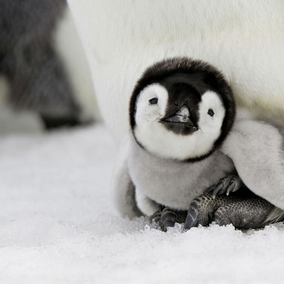 .Happy Feet, Pets, Creatures, Baby Animal, Adorable, Box, Things, Baby Penguins, Penguin Baby