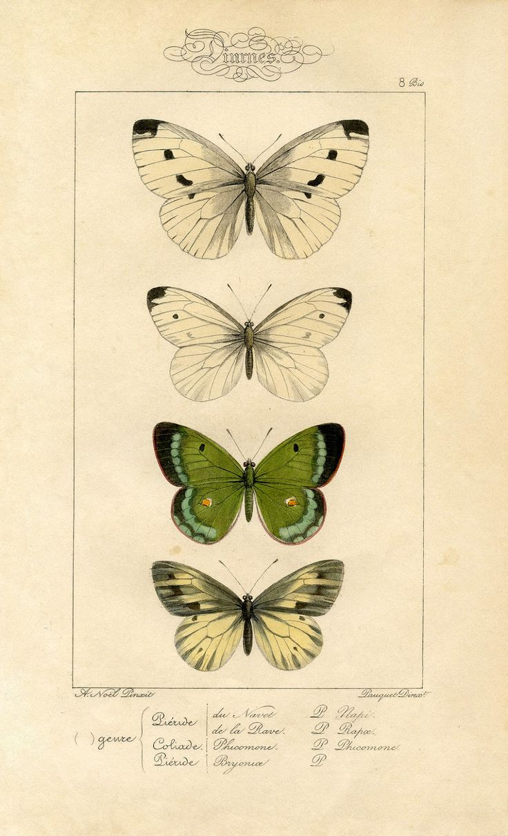 200 best butterflies images on Pinterest | Butterflies, Botany and ...