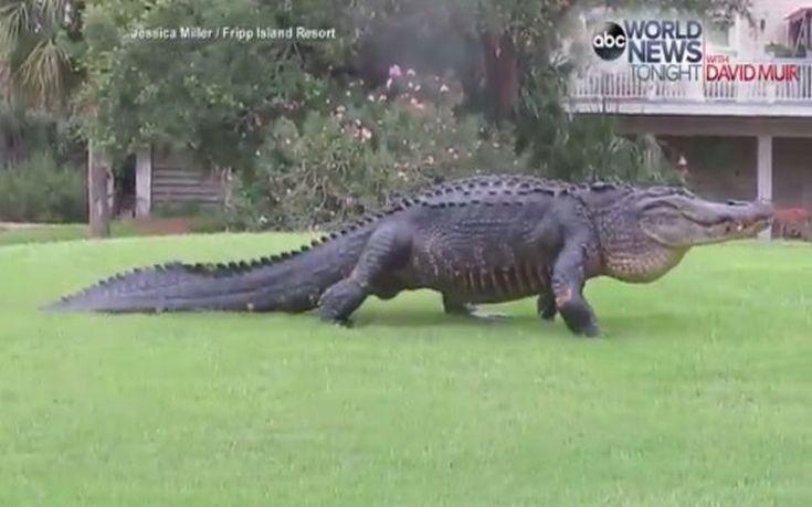Αλιγάτορας βολτάρει ανέμελος μέσα σε γήπεδο γκολφ