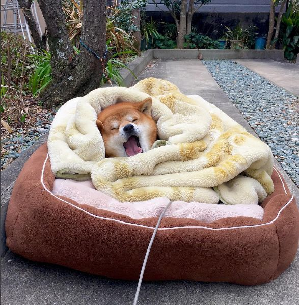 Shiba Inu Berry is so sooo sleepy! With so much handsome, he needs the rest! Doge