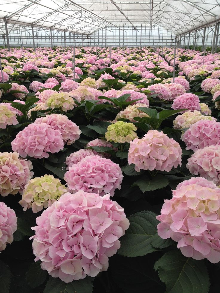 Hydrangea Verena in the greenhouse @Rob van Mastwijk (Aug. 14)