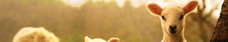 lamb Full HD wallpapers search