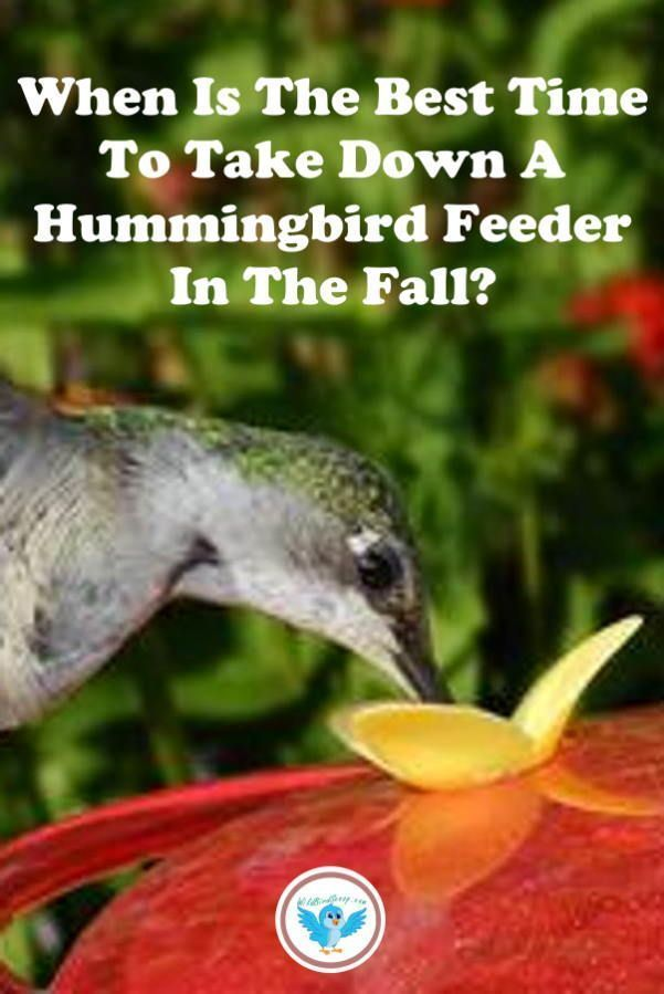 When Do I Take Down My Hummingbird Feeder For The Winter Humming Bird Feeders Backyard Birds Hummingbird