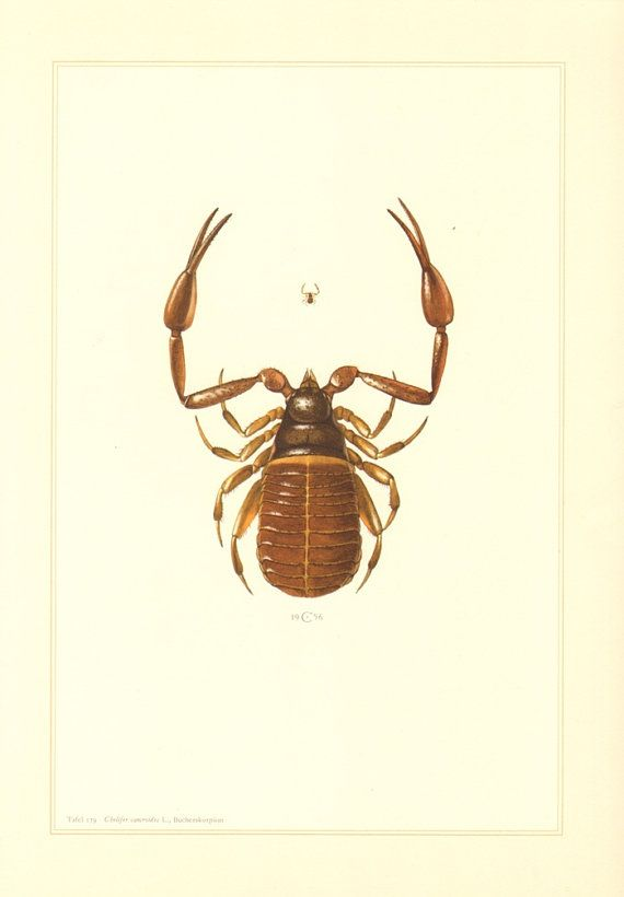 1956 Pseudoscorpion, False Scorpion or Book Scorpion, Chelifer cancroides Vintage Offset Lithograph