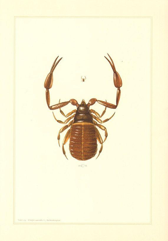 1956 Pseudoscorpion, False Scorpion or Book Scorpion, Chelifer cancroides Vintage Offset Lithograph