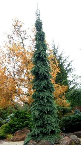 Picea glauca pendula, Weeping White Spruce #20 Ct