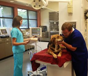 how to become a large animal vet tech