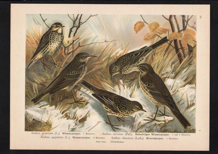 1880 - Wiesenpieper pipit Vogel Vögel bird birds Farblithographie Naumann | eBay