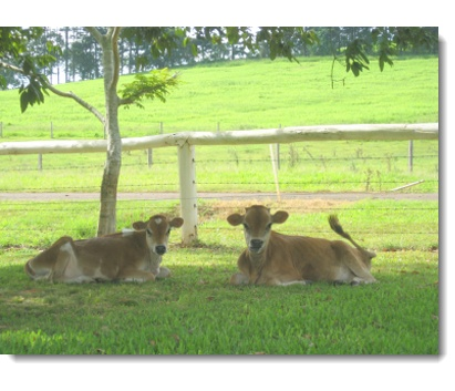Cleopatras's Raw Milk from Goomboorian, Queensland