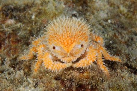 Meet this new tiny crab that was just brought up from, 900 feet deep off Curaçao!!