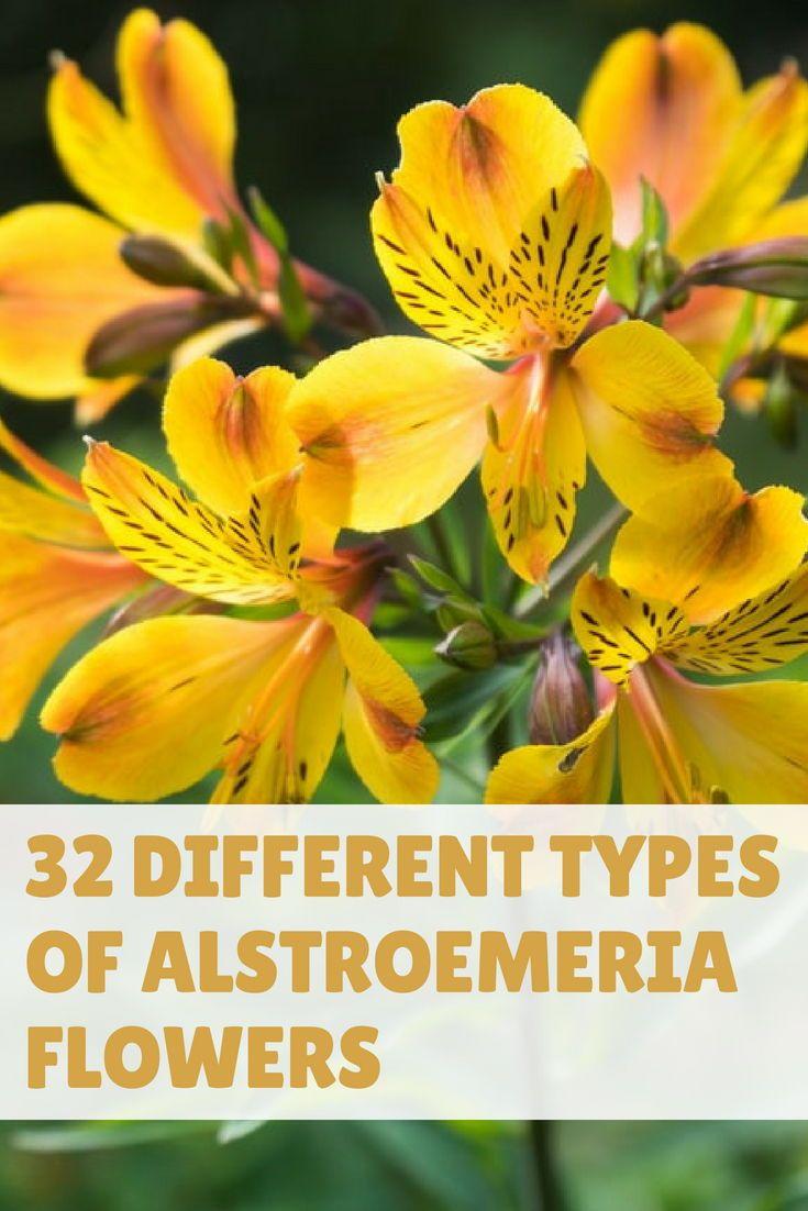 32 Different Types Of Alstroemeria Flowers Alstroemeria Flowers Landscape Plan