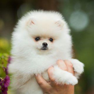 Померанский Шпиц.Pomeranian. Pomeranian DogCutest Baby
