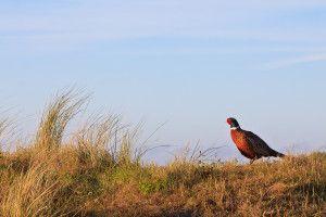 Pheasant shooting season 1st Oct - 1 Feb (England, Wales & Scotland)