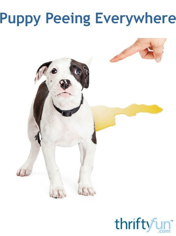 Puppy Peeing Everywhere Pets Puppies Training Your Dog Potty