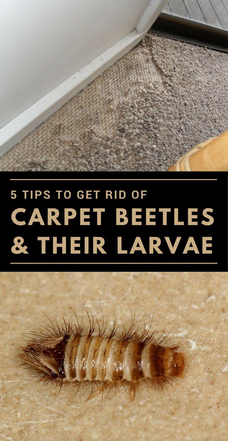 5 tips to get rid of carpet beetles their larvae