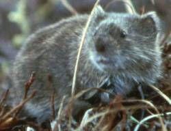 Fjellmarkmus – Wikipedia