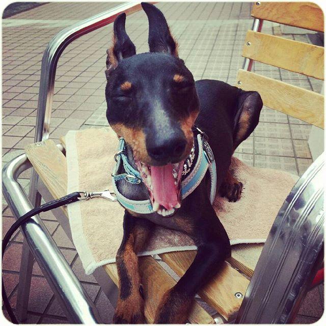 * うへーい🐶 土日はいつもパパとモーニングなんだわん♥  #ToyManchesterTerrier #トイマン #トイマンチェスターテリア #トイマンワルド #愛犬 #犬 #わんこ #我が家の天使 #ルークの成長記録