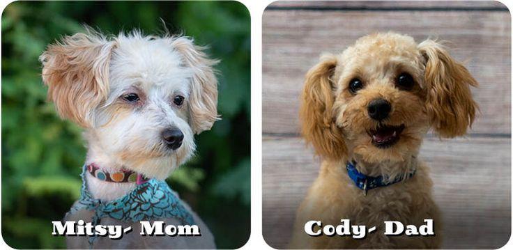 Maltipoo litters maltipoo puppies for sale in