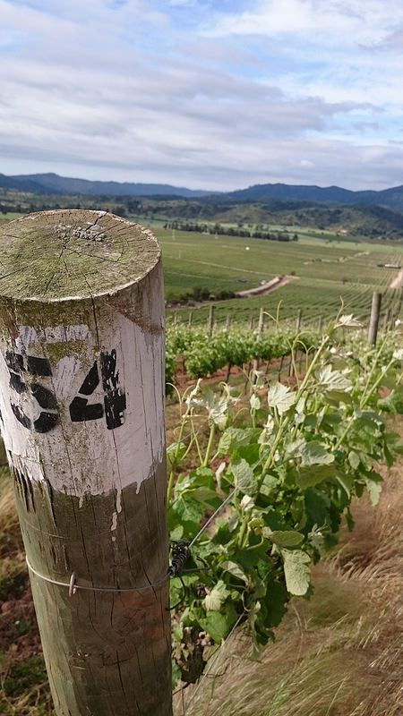 Chile_vineyard | by arceo.daniela