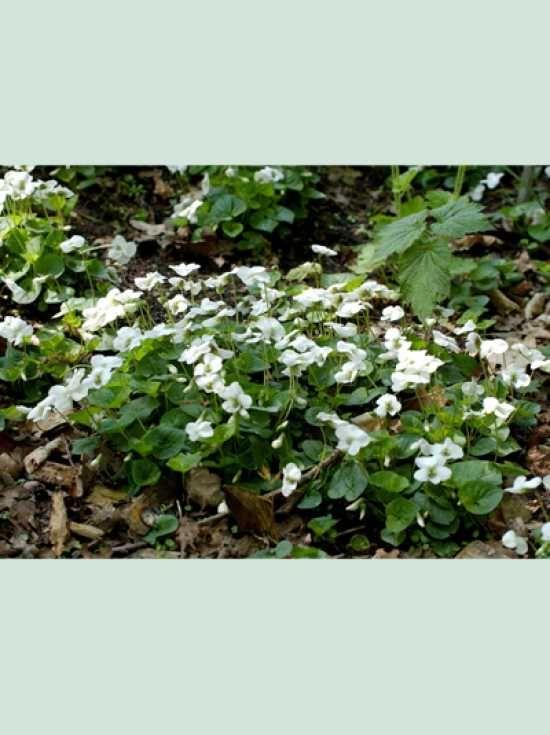Ideal Viola sororia uAlbiflora u Wei es Pfingst Veilchen g nstig bestellen sonstige Bodendeckerstauden