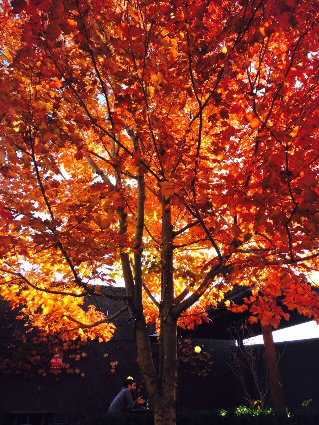 Autumn tree at the pub.  No filter.