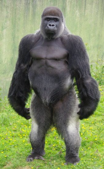A silver back Gorilla standing.  Another animal that looks like somebody I know.  Lol!!