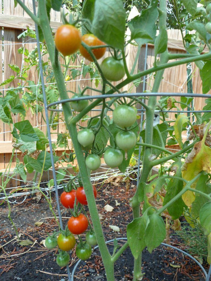 Sweet 100 Cherry Tomatoes Vegetable Plants Pinterest 400 x 300
