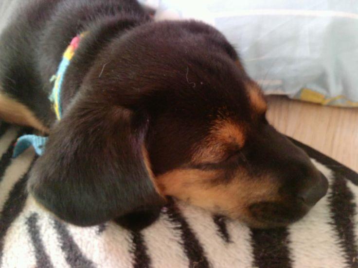 Izi is a mixture of polish hunting dog and beagle