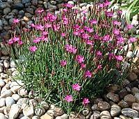 Dianthus deltoides 'Roseus' - Heide-Nelke