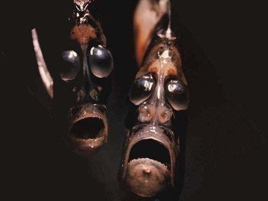 Самая страшная рыба... Эту рыбу местные жители называют еще «рыба проклятых». Внешний вид у нее настолько депрессивный, что легко можно представить, как стаи этих рыб стенают в морских глубинах о своей нелегкой судьбе…