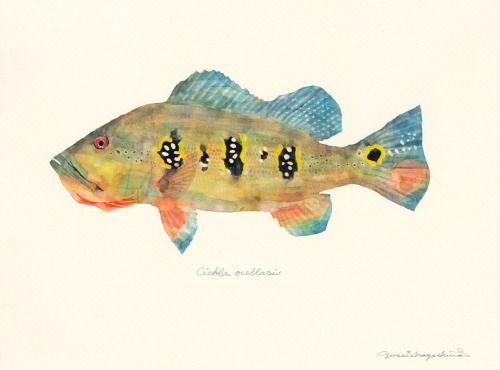 Cichla orinocencis / Peacock bass / Eye-spot cichlid / Tucunare (アイスポットシクリッド/ピーコックバス Cichla orinocencis : uonofu…