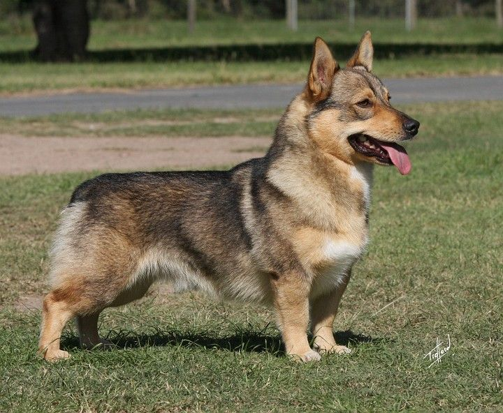 Swedish Vallhund. rare as hen's teeth, but a lovely little spitz.