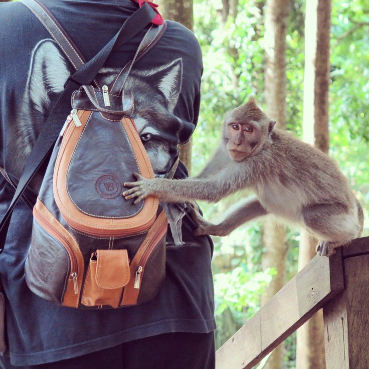 I witnessed some very #cheekymonkeys 🙉#monkeyingaround 🙊whilst visiting the Ubud Monkey Forest 🙈  Officially called, the Sacred Monkey Forest Sanctuary, it is situated within as well as owned by, the village of Padangtegal.  #travel #travelling #travellife #travelblogger #travelphotography #animalphotography #globetrotter #aroundtheworld #bali🌴 #monkeyforest #monkeyforestubud #cheekymonkey #lookatthatface #trickster #monkey #freebirdflow #freebirdflowtravel #movedbylife
