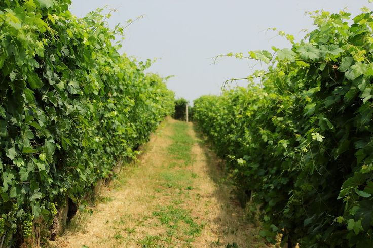 Vineyards by gianniannibale on 500px