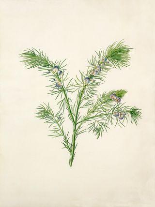 Margaret Meen -- Psoralea aculeata -- Margaret Meen -- Artists -- RHS Prints