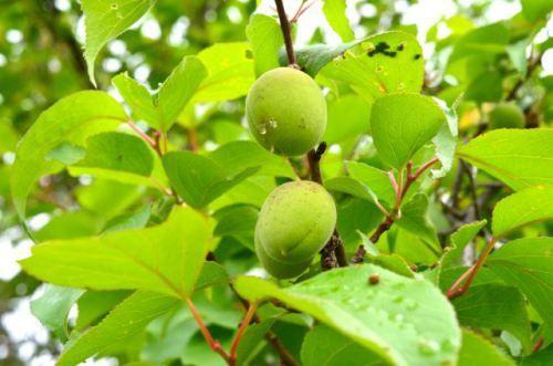 Chinese Plum or Japanese apricot plum tree