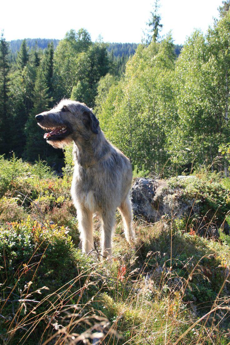 Om Irsk Ulvehund - www.linekjorven.com