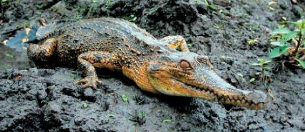 New Crocodile Species Discovered in West Africa--The central African slender-snouted crocodiles are now known as M. (Mecistops) cataphractus