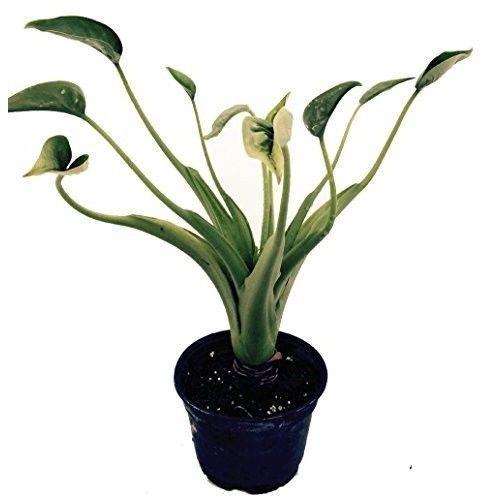 "Alocasia Plant Tiny Dancers Elephant Ear Buddha Palm - 6"" Pot Houseplant Indoor #AlocasiaPlant"