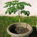 El cultivo del árbol de Moringa | #Huerto urbano - Huerto ecológico ecoagricultor.com