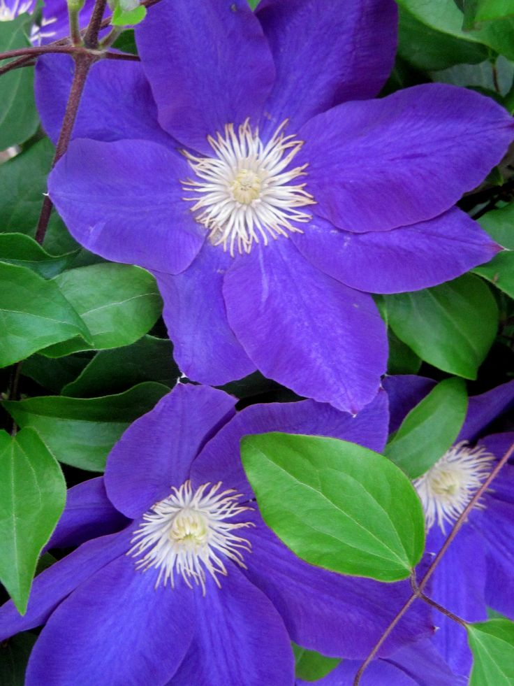 76 best window boxes images on pinterest flowers flower gardening end of may lovely dianas delight clematis blooms throughout spring summer and early fall mightylinksfo